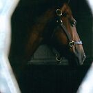 Ch Gypsy Supreme Looking Out His Window by HungarianGypsy