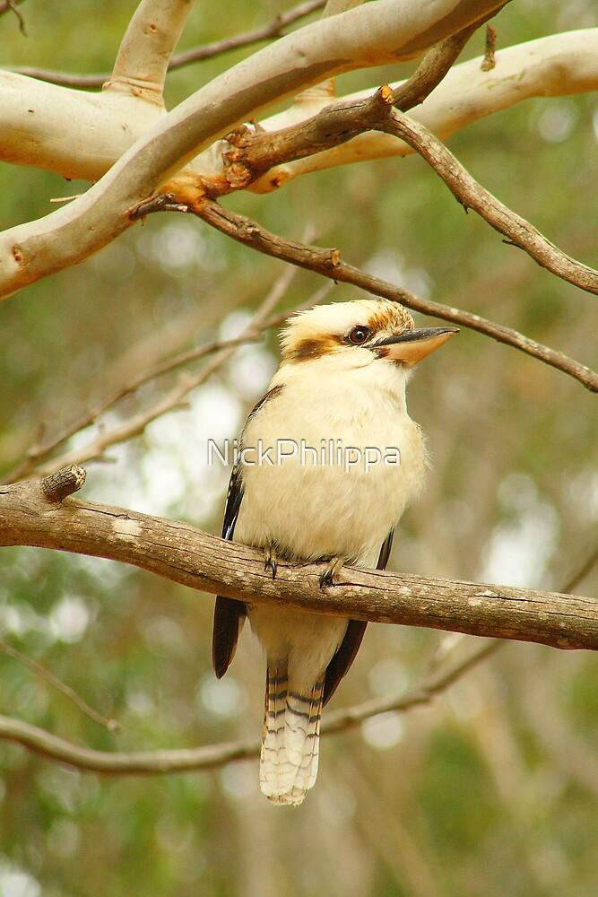 Kookaburra by NickPhilippa
