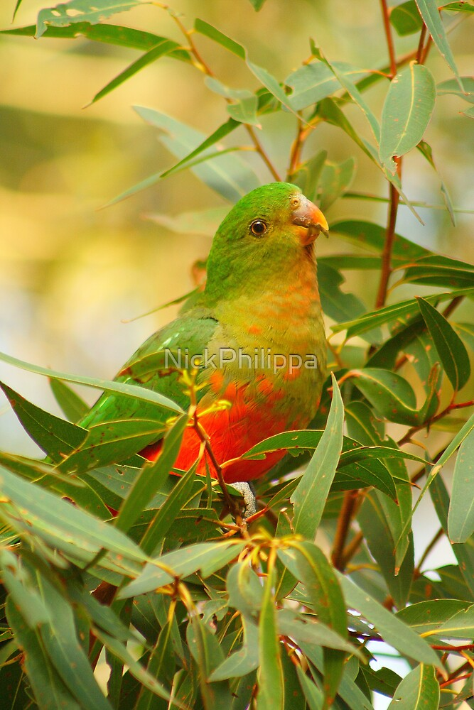 Juvenile King Parrot by NickPhilippa