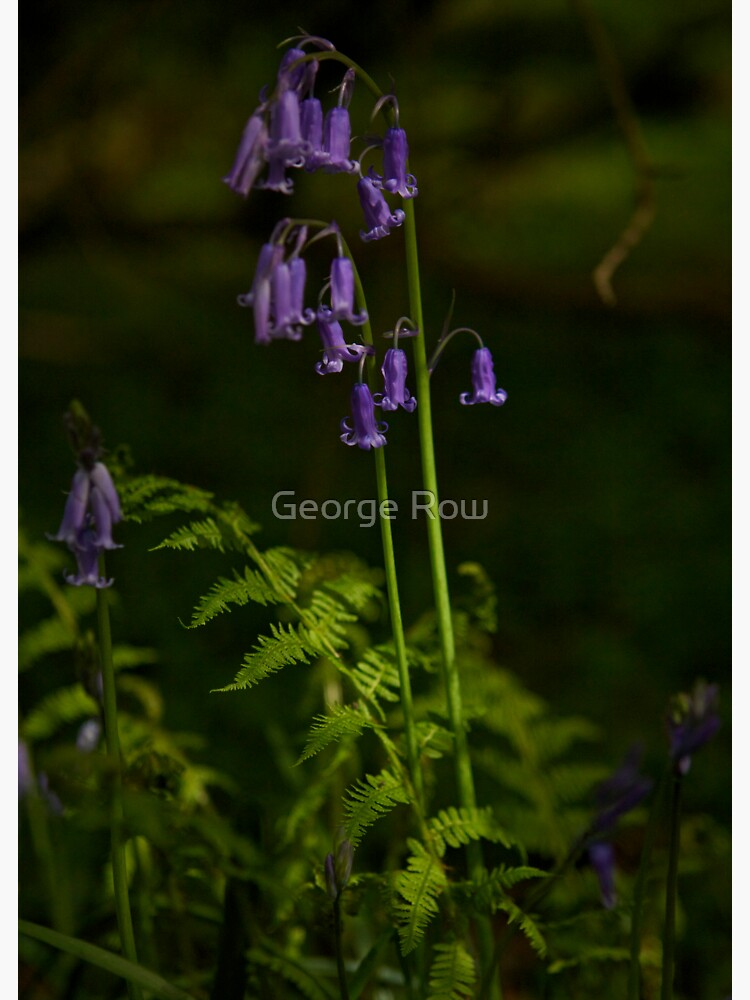 Two Bluebells in Prehen Woods, Derry by VeryIreland