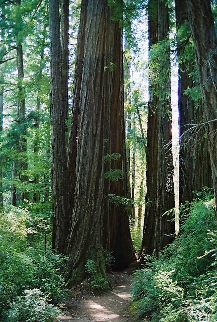 Family of Redwoods by tyedyechristine