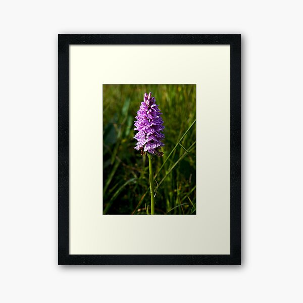 Spotted Orchid, Kilclooney, Donegal Framed Art Print