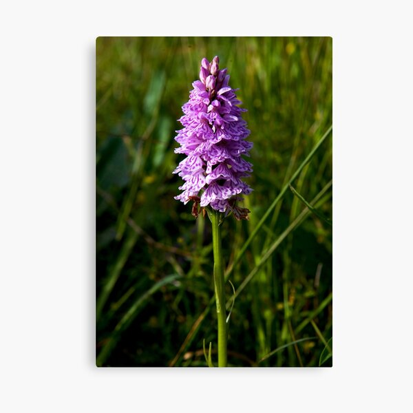 Spotted Orchid, Kilclooney, Donegal Canvas Print