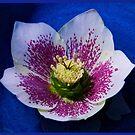 Hellebore Flower Head by George Row