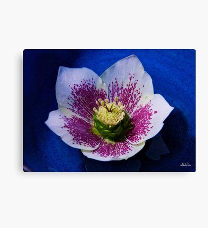 Hellebore Flower Head Canvas Print