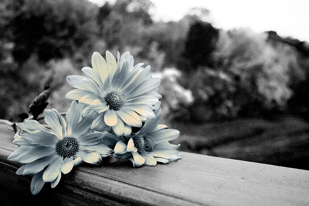 daisies by Kris Z