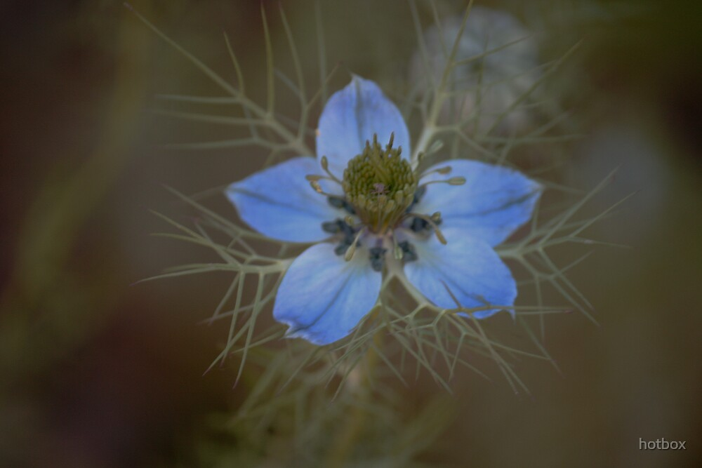 Blue flower  by hotbox