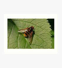 Hoverfly - Volucella zonaria Art Print