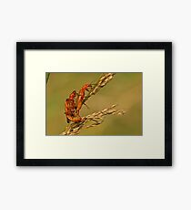 Soldier Beetles Framed Print