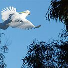 Cockatoo in Flight by Alison Howson