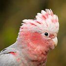 "Baby Galah (aka ""Rose-breasted Cockatoo"") by theleastone"
