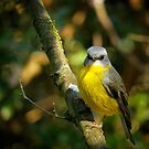 Eastern Yellow Robin by theleastone