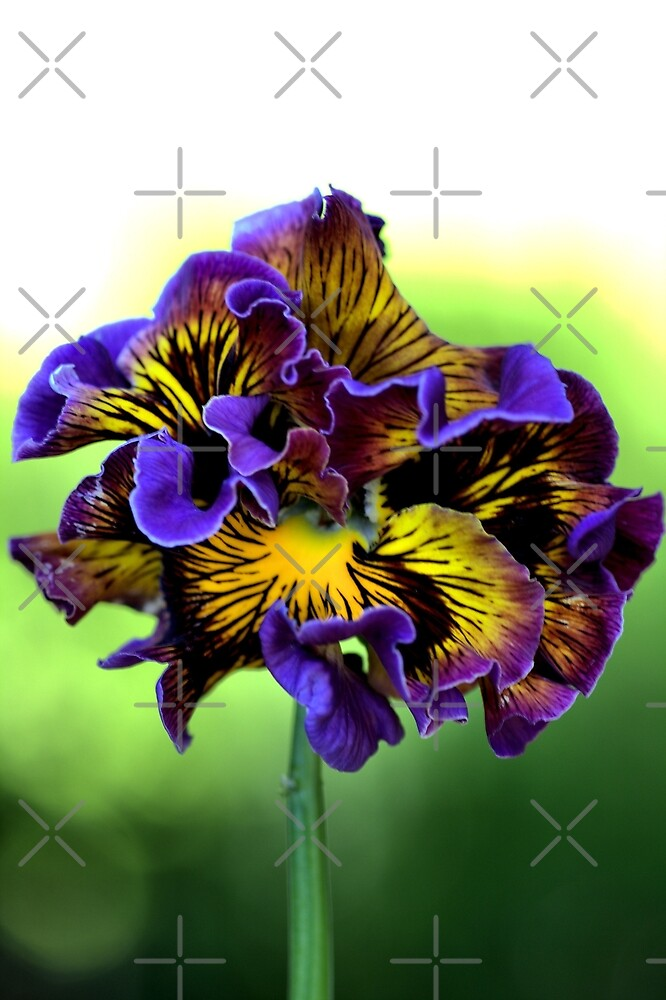 Shades of Frilly Pansy by Joy Watson