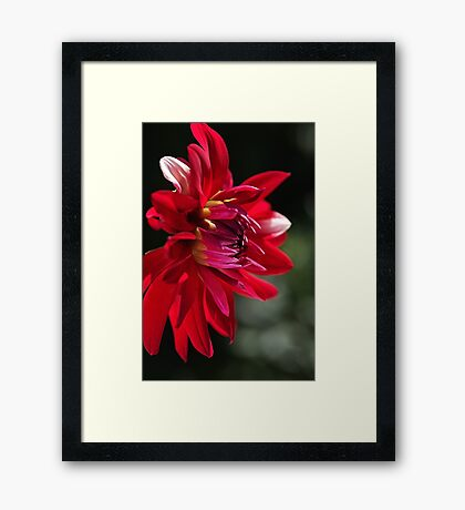 Red Hot Dahlia Framed Print