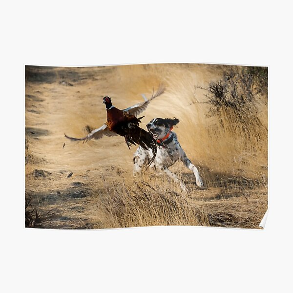 English Setter Chasing Pheasant Poster