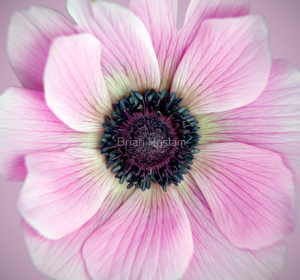Pink Anemone by Brian Haslam