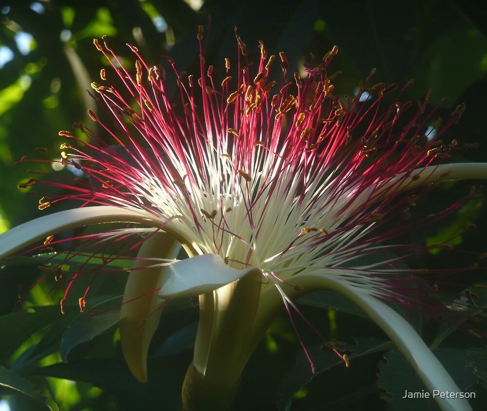 Guiana Chestnut by Jamie Peterson