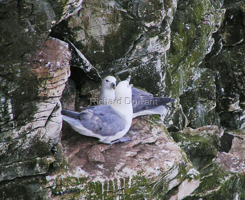 Cliff Side Kittiwakes by Richard Durrant