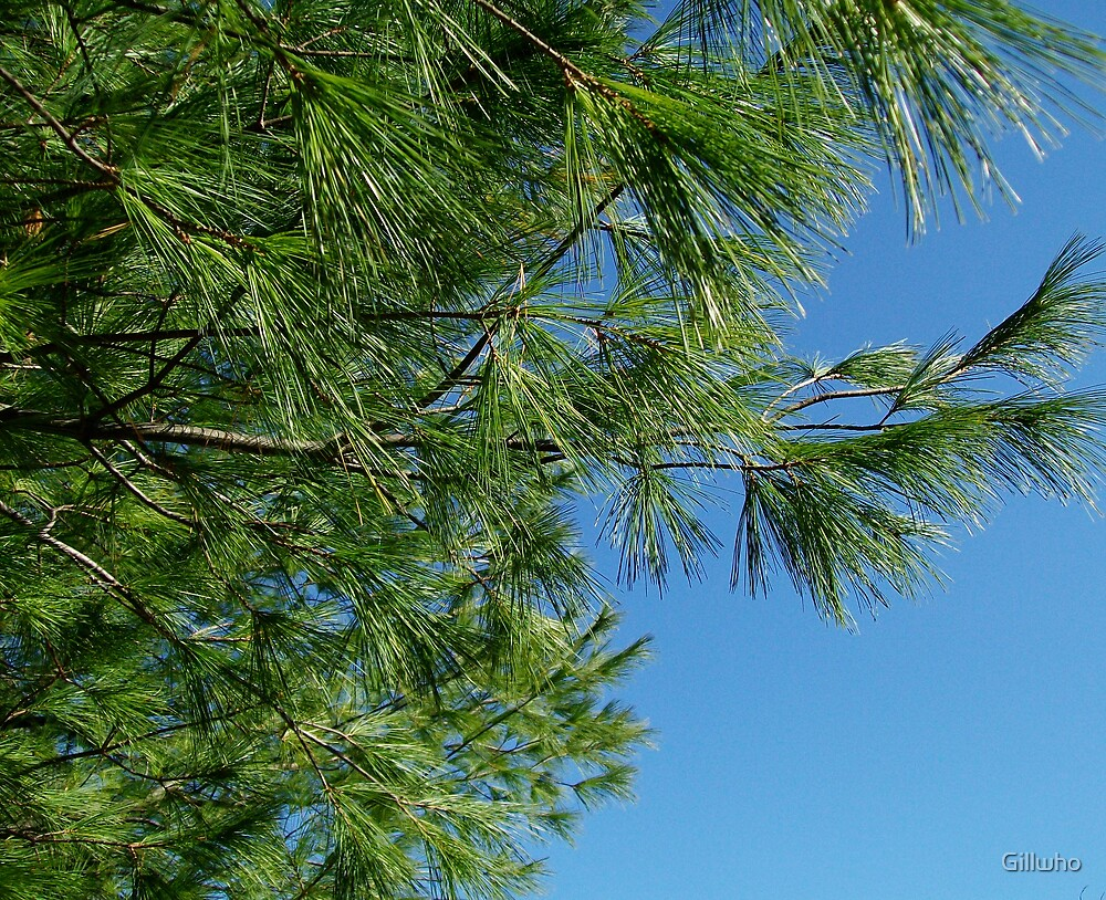 Pine Tree Against Blue Sky by Gillwho