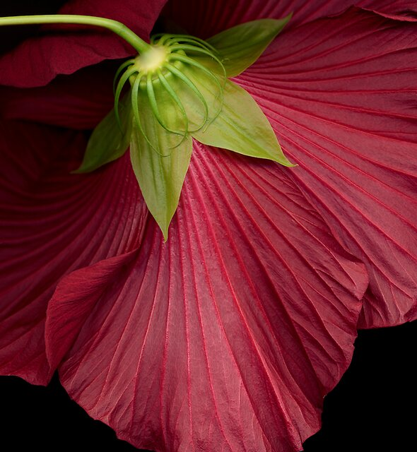 Hibiscus by Roger Maynard