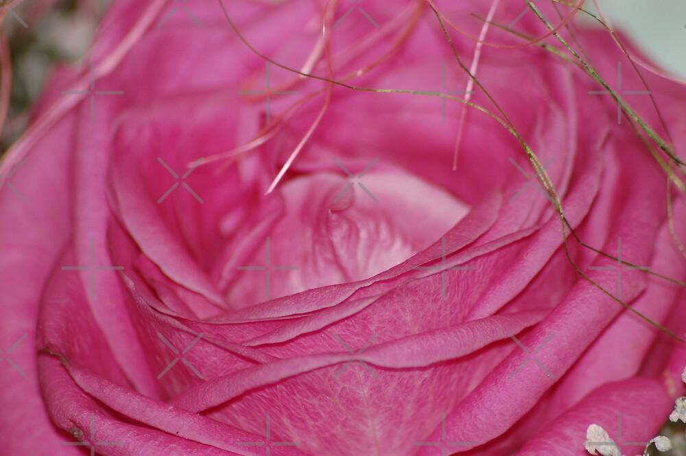 Old pink rose by loiteke