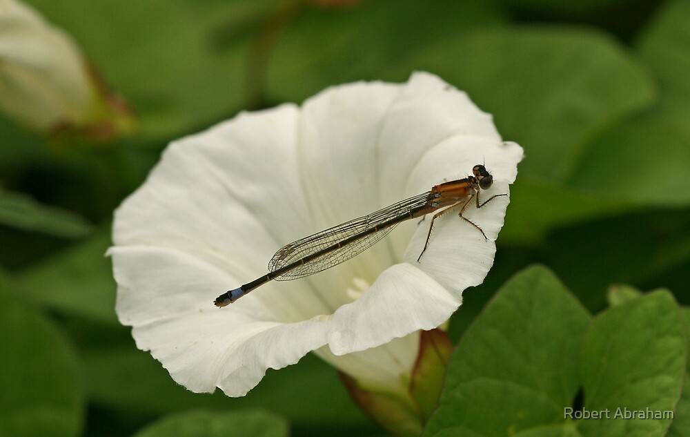 Blue Tailed Damselfly by Robert Abraham