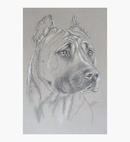 American Staffordshire Terrier Photographic Print
