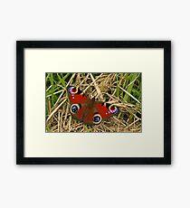 Pecock Butterfly Framed Print