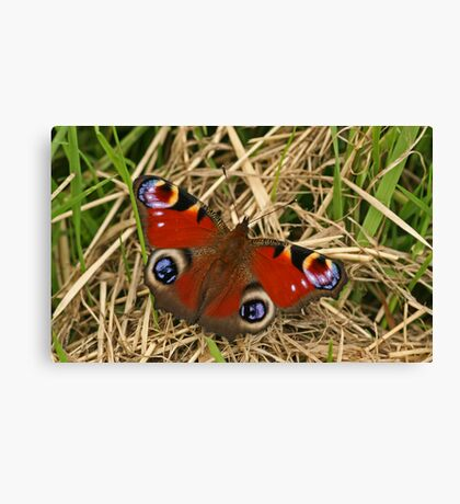 Pecock Butterfly Canvas Print