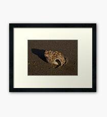 Weathered Whelk on Fahan Beach Framed Print