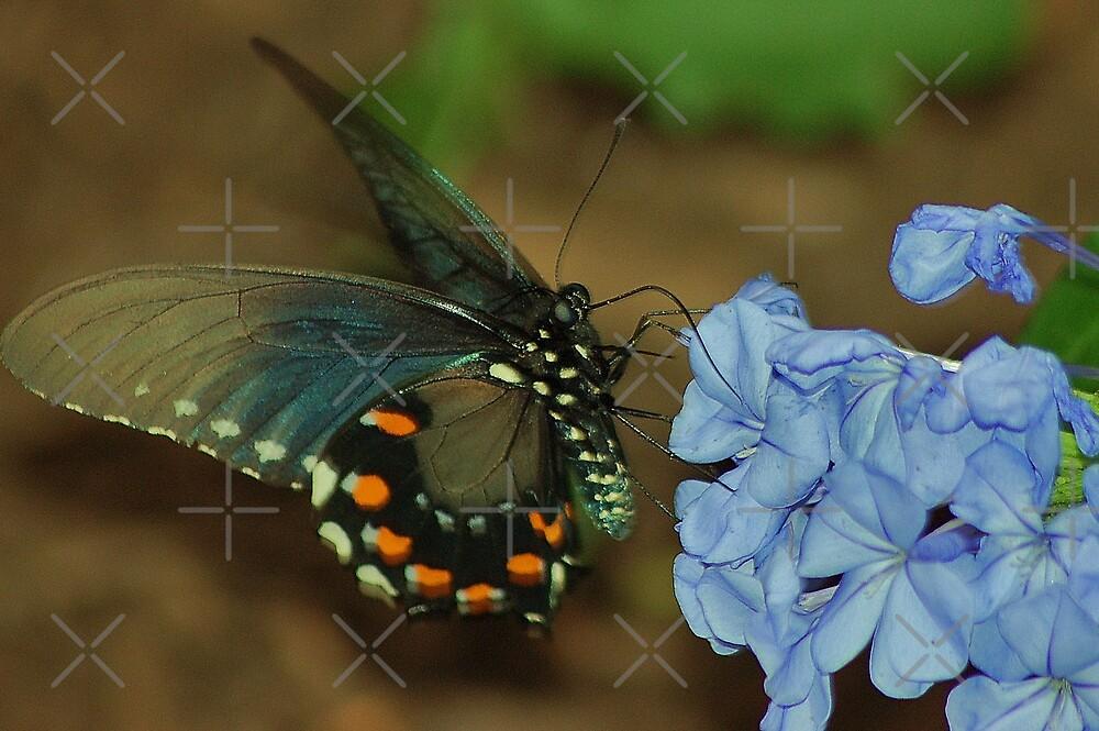 Blue Morpho by loiteke