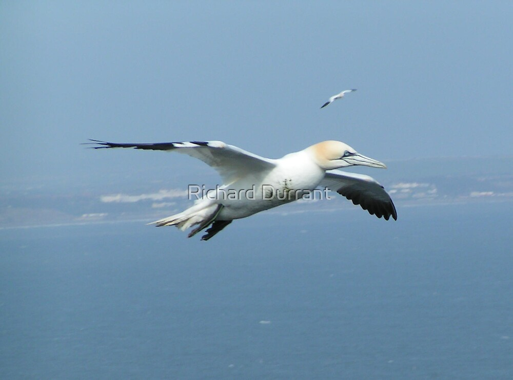 Gannet In Flight by Richard Durrant
