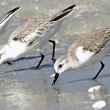 Sandpipers by rural-guy