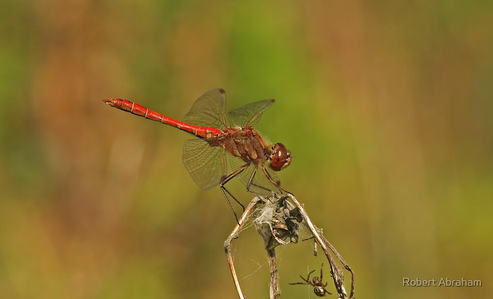 Vagrant Darter Dragonfly by Robert Abraham