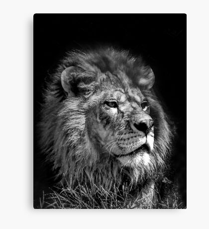 Proud Young Lion Canvas Print