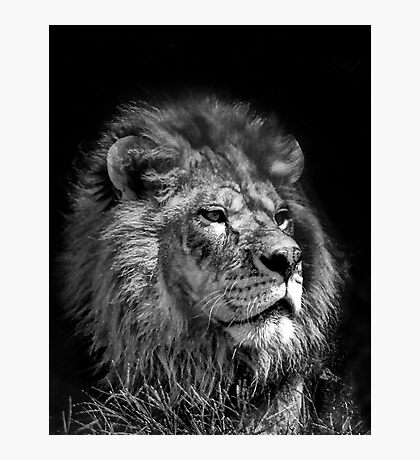 Proud Young Lion Photographic Print