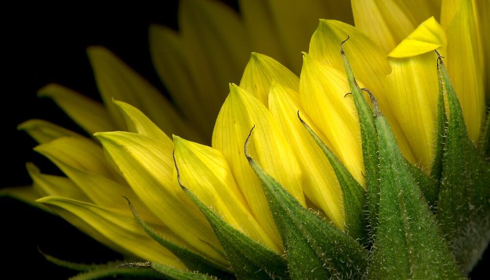 Sunflower - 1 by Roger Maynard