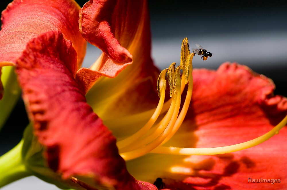 The bee's knee's ... by RawImages