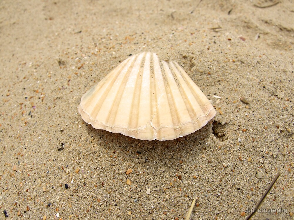 Shell by vbphotography