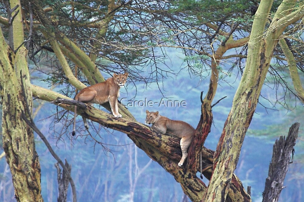 Lions in a Tree by Carole-Anne