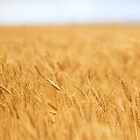 Wheat  #01 by Malcolm Heberle