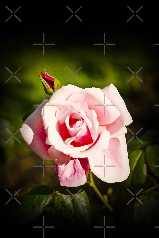 Pink Rose by Catherine Hamilton-Veal  ©