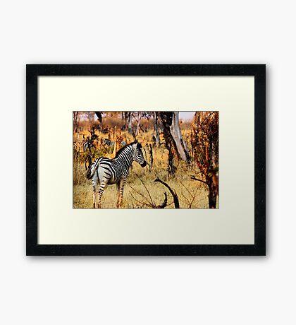 Zebras at sunset Framed Print