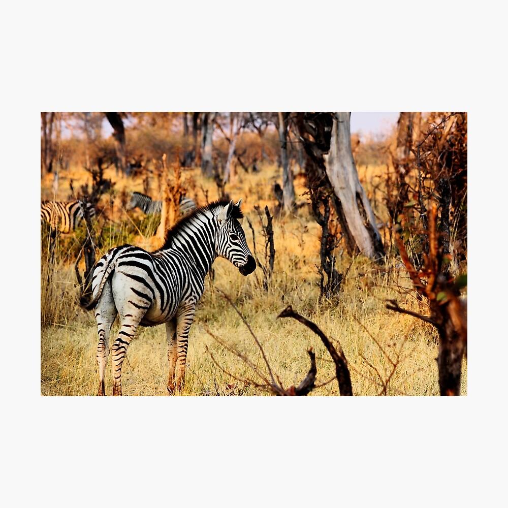 Zebras at sunset Photographic Print
