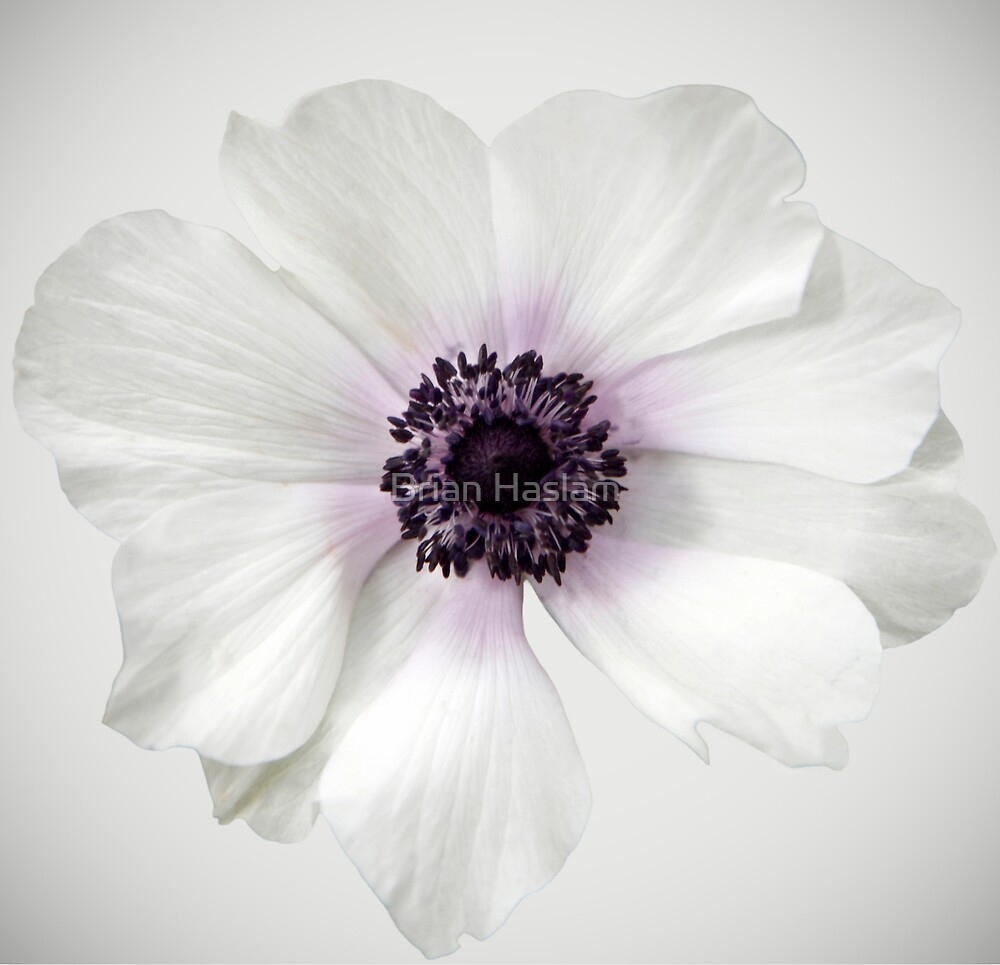 White Anemone by Brian Haslam