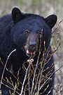 Black Bear.3 by Alex Preiss