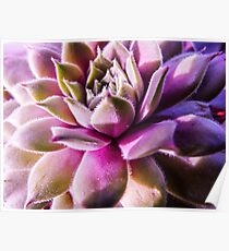 Pink and Green Macro Succulent Poster