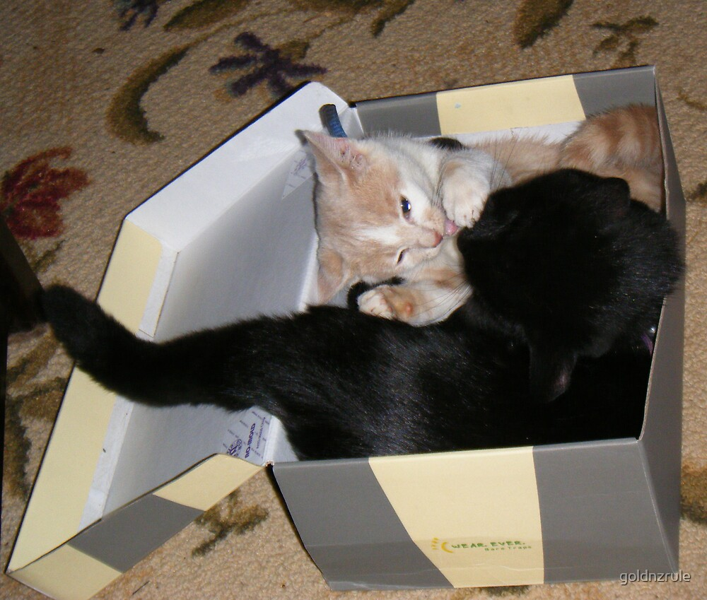 Box Fighting Wild Bill Hickock kitten and Matilda by goldnzrule