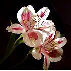 Lilies by Diane Arndt