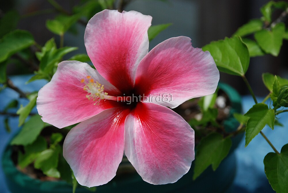 Pink Star hibiscus by nightbird81